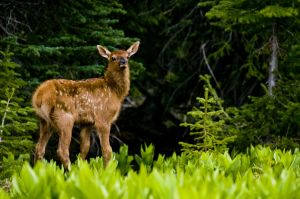 1025440_elk_in_meadow_3